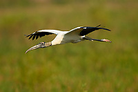 Wood Stork, (Mycteria americana), collecting nesting material, Arthur J Marshall National Wildlife Reserve Florida