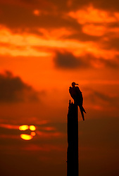 Stock photo of a silhouette of a frigate bird perched on a broken pole at sunset