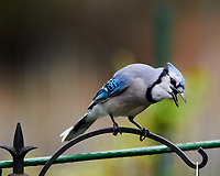Blue Jay. Image taken with a Nikon D850 camera and 400 mm f/2.8 lens.