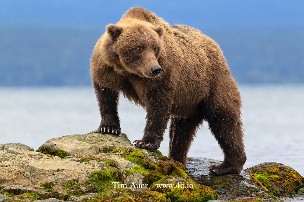 """An average of 6 men are killed yearly in California by grizzly bears, many more injured. """"Almost all of these hurt or killed by a grizzly was trying to hunt it and enraged the beast by stinging it with a bullet."""" - JS Hittel, 1863.  A mother Brown Bear perches herself at the mouth of the Brooks River in Katmai National Park"""