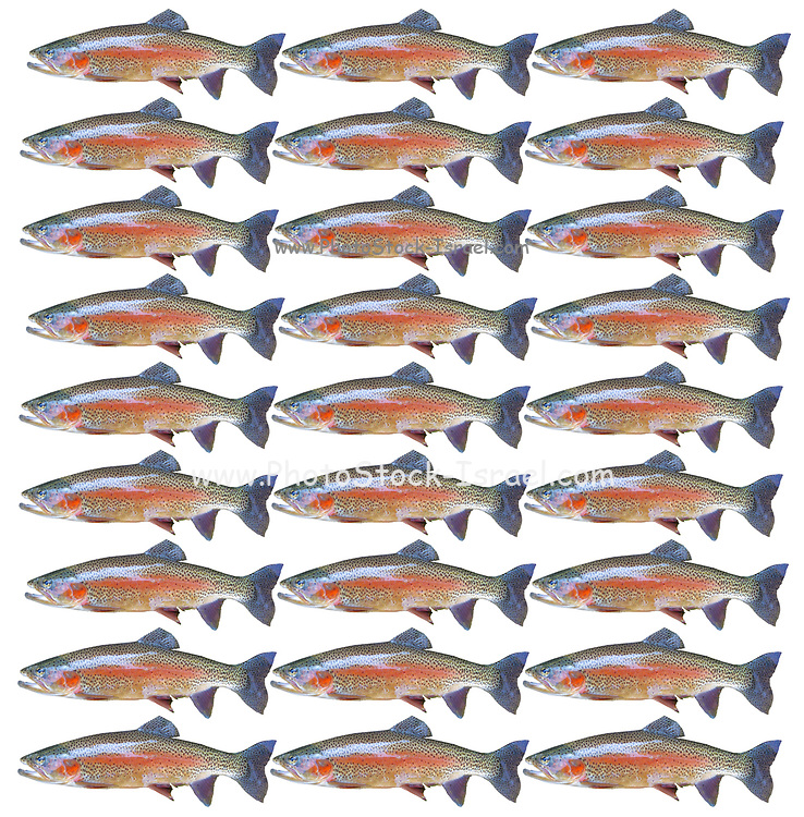 pattern of 27 trout fish in a repeating pattern on white background