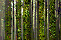 Monterey Pine forest, (Pinus radiata) in the Corona Forestal Natural Park, around the Teide National Park, tenerife Island, Canary Islands, Spain.