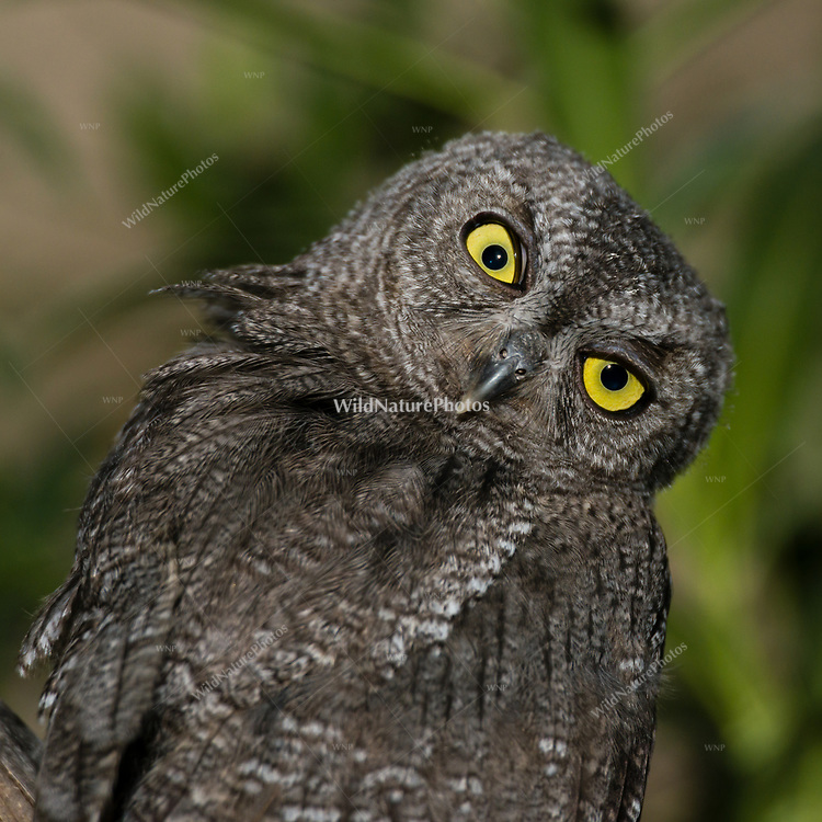 An immature Western Screech Owl (Megascops kennicottii) roosting on a Mesquite branch (Prosopis velutina), looking backwards. Arizona
