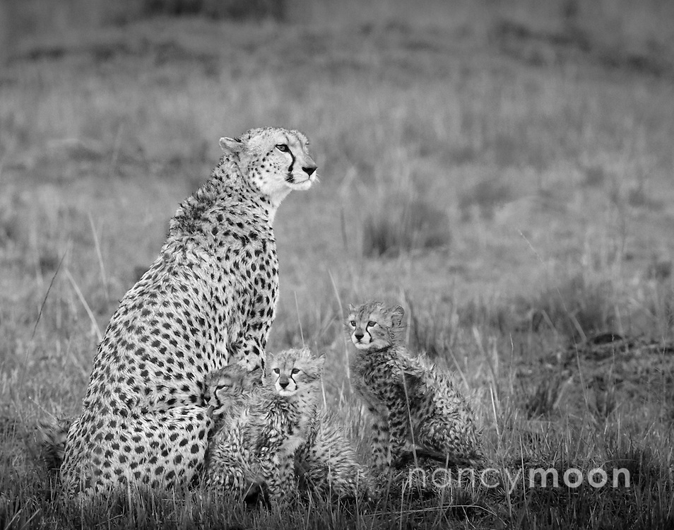 """Cheetah mother photographed with three of her five cubs this particular afternoon in the Mara Triangle, Africa. It was beginnning to rain hard and their fluffy coat was getting soaked. <br /> <br /> *For all details about sizes, paper and pricing starting at $85, click """"Add to Cart"""" below."""