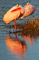 Roseate Spoonbill Resting in the Afternoon Sun at Merritt Island National Wildlife Refuge. Image taken with a Nikon D3x camera and 300 mm f/4 lens (ISO 500, 300 mm, f/5.6, 1/1000 sec)