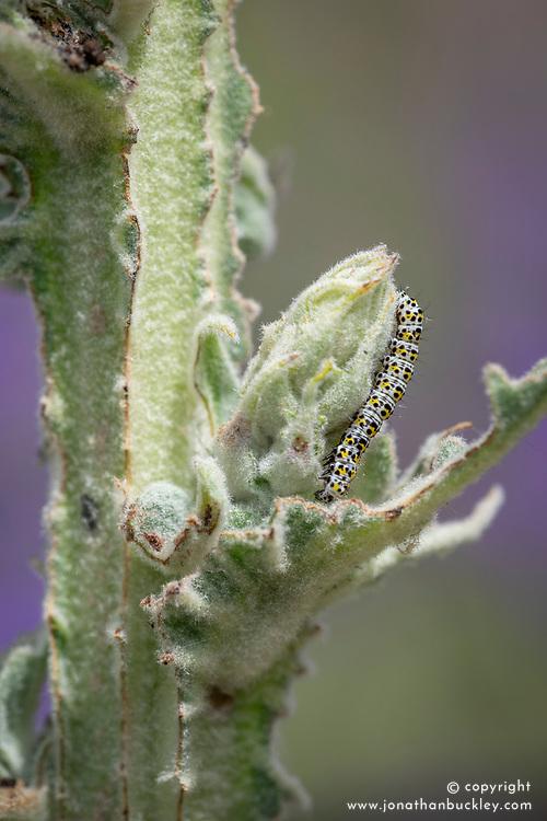 Mullein moth caterpillars -  Cucullia verbasci - damaging the foliage of Verbascum olympicum