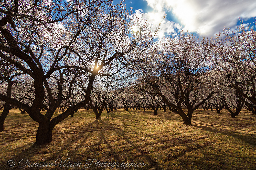 Apple trees come to life in Fruita, Wyoming.