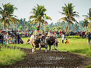 09 OCTOBER 2016 - JEMBRANA, BALI, INDONESIA: Makepung (buffalo racing) in Tuwed, Jembrana, Bali. Makepung is buffalo racing in the district of Jembrana, on the west end of Bali. The Makepung season starts in July and ends in November. A man sitting in a small cart drives a pair of buffalo bulls around a track cut through rice fields in the district. It's a popular local past time that draws spectators from across western Bali.     PHOTO BY JACK KURTZ