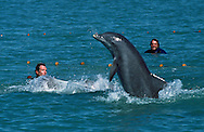The Bottlenose Dolphin were caught in the Gulf of Mexico near Fort Myers, Florida.  Kym Murphy, Director of The Living Seas, (foreground), is holding one dolphin while another gets away.