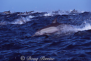 long-beaked common dolphins, Delphinus capensis, race toward a shoal of sardines off Wild Coast of Transkei, South Africa, during the annual Sardine Run ( Indian Ocean )