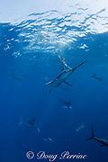 striped marlin, Kajikia audax (formerly Tetrapturus audax ) ( 14 visible in frame ), feeding on baitball of sardines or pilchards, Sardinops sagax, off Baja California, Mexico ( Eastern Pacific Ocean )