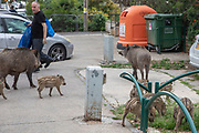 Wild boar piglets roam the streets of Haifa, Israel, April 09, 2021. Several neighborhoods in the northern Israeli city are being visited by families of wild boars. Many of the animals felt safer to come out of the Carmel woods surrounding the city in search for food, as most people were confined to their homes due to covid-19 lockdowns. As Israel slowly returned to normal life, following a large scale vaccination operation, human and animal encounters became more and more common.