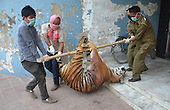 Tigress killed by villagers in Nagaland-India