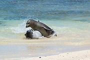 Hawaiian monk seals, Neomonachus schauinslandi ( Critically Endangered endemic species ), aggressive male attacks five and a half week old pup, Papaloa Beach, Kalaupapa, Molokai, Hawaii, USA