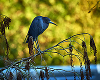 Little Blue Heron hunting in Big Cypress Swamp. Image taken with a Nikon Df camera and 80-400 mm Vr lens (ISO 1600, 400 mm, f/5.6, 1/1000 sec).
