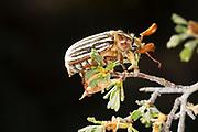 Ten-lined June beetle (Polyphylla decemlineata) in Central Oregon. © Michael Durham