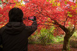 © Licensed to London News Pictures. 22/10/2016. Godalming, UK. A lady takes a photo of the autumn displays of colour at Winkworth Arboretum in Surrey today.  Photo credit: Rob Arnold/LNP