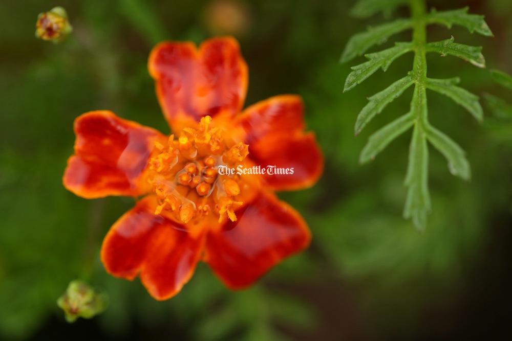 Tangerine Gem Marigolds, an edible flower. (Erika Schultz / The Seattle Times)