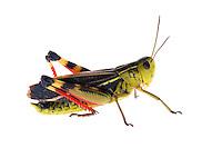 IFTE-NB-007308; Niall Benvie; Arcyptera fusca; Austria; grasshopper; Europe; Tirol; Fliesser Sonnenhänge; insect arthropod invertebrate; horizontal; high key; red green white; controlled; male; adult; one; meadow grassland upland; 2008; July; summer; strobe backlight; Wild Wonders of Europe Naturpark Kaunergrat
