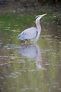 Great Blue Heron (Ardea herodias fannini) in a pond on the Kitsap Peninsula near the Hood Canal region of Puget Sound, Washington, USA.