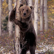 Grizzly Bear, (Ursus horriblis) In western Rockies standing up on hind legs. Montana. Captive Animal.