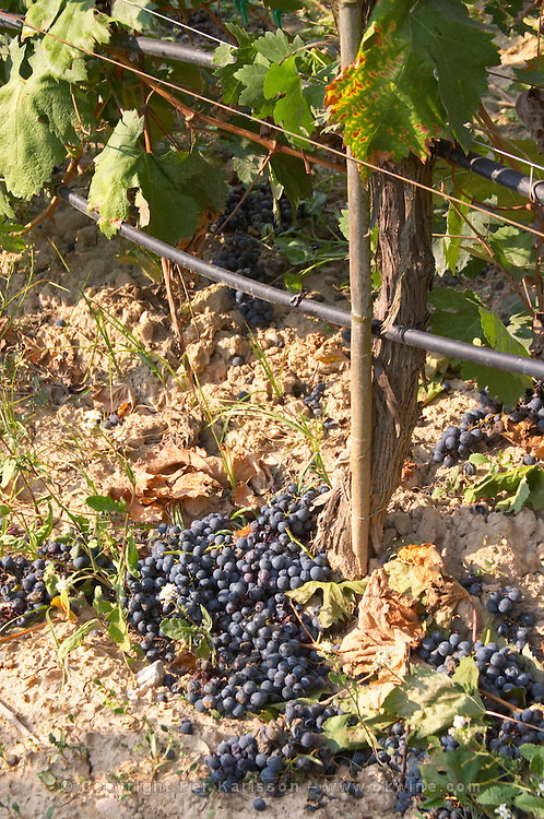 Irrigated vines. Green harvested grapes left on the ground. Penedes Catalonia Spain