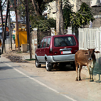 Asia,  India, Rajasthan. A calf stands on the roadside watching traffic pass in Rajasthan.