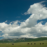 Yaks graze in a valley below Mongolia's  southern Horidal Saridag Mountains, north of Muren in Hovsgol district.