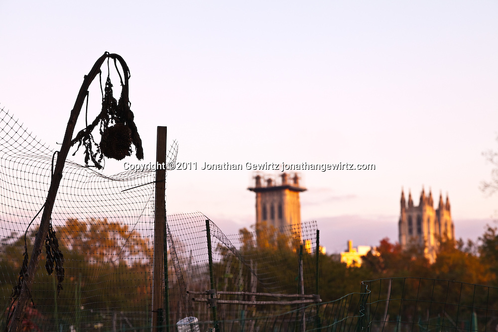Sunflower stalks and wire fence of a community garden with the Washington Cathedral in the background. WATERMARKS WILL NOT APPEAR ON PRINTS OR LICENSED IMAGES.