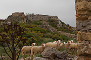 """Sheep at the ancient Hellenic city of Polyrinia, Crete. The place name means """"many sheep"""" and it was the most fortified city in ancient Crete."""