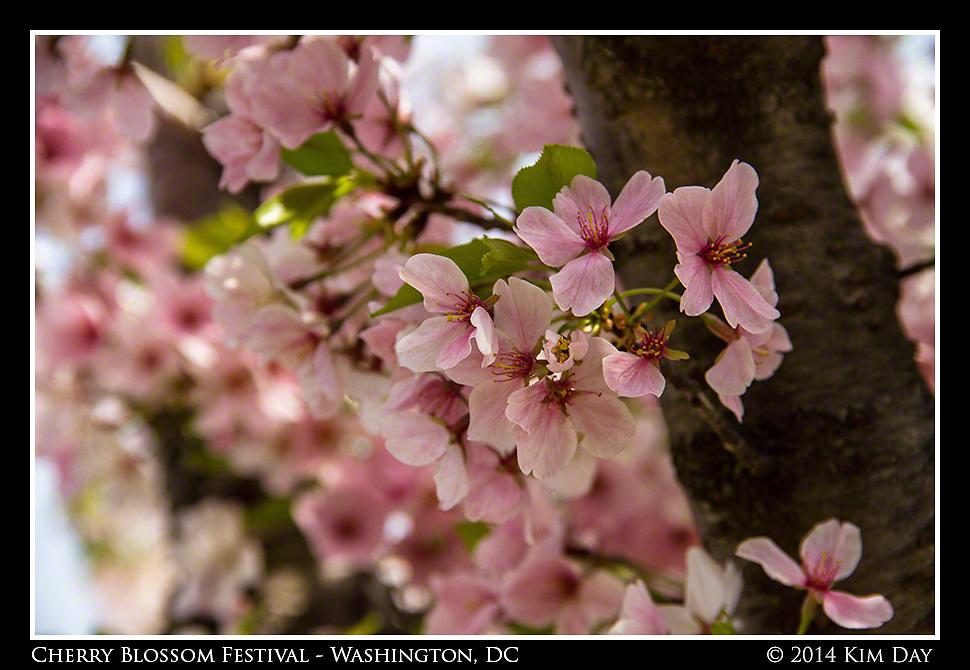 Cherry Blossoms<br /> Cherry Blossom Festival - Washington, DC<br /> April 13, 2014