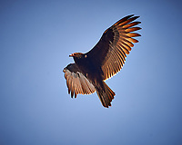 Turkey Vulture in the Late Afternoon Sun. Image taken with a Nikon D4 camera and 80-400 mm VRII telephoto zoom lens (ISO 280, 400 mm, f/5.6, 1/400 sec).