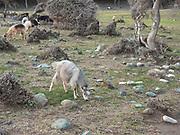 Herd of goats grazing on Samothrace Island, Greece