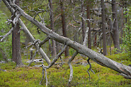 Old-growth pine forest, (Pinus silvestrtis), Stora Sjöfallet National Park, Laponia UNESCO World Heritage Site, Greater Laponia rewilding area, Lapland, Norrbotten, Sweden