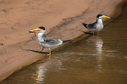 Large-billed Tern (Phaetusa simplex)<br /> Northern Pantanal<br /> Mato Grosso<br /> Brazil