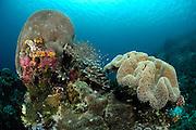 left (Gardineroseris planulata) right (Sarcophyton sp) Raja Ampat, West Papua, Indonesia, Pacific Ocean | Raja Ampat, West Papua, Indonesien, Pazifischer Ozean