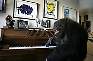 EXCLUSIVE 24th June 2008, Palm Springs, California. 76-year-old Cheeta, star of many Hollywood Tarzan films of the 1930s and 1940s, is coming out of retirement. Recognized as the oldest chimpanzee alive, the Palm Springs resident has just signed a record deal. To celebrate the signing, Cheeta made a promo music video to accompany his cover of the 1975 hit song 'Convoy'. PHOTO © JOHN CHAPPLE / www.johnchapple.com .tel: +1-310-570-9100