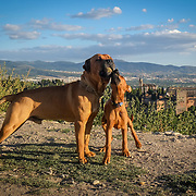 Two boxer dogs play in the heights of Granada, overlooking the Alhambra