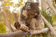 Koala (Phascolarctos cinereus) eats leaves in an Eucalyptus tree