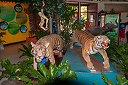 Taxidermy, Stuffed tigers (Panthera tigris), hunting trophies, on display in a museum in rural Thailand