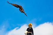 A golden eagle in flight above her hunter(Aquila chrysaetos), Altai Mountains, Bayan Ulgii, Mongolia