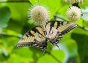 Yellow Swallowtail Underside