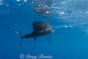 Atlantic sailfish ( Istiophorus albicans or Istiophorus platypterus ), Yucatan Peninsula, Mexico ( Caribbean Sea )