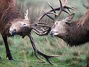 © Licensed to London News Pictures. 06/01/2016. Richmond, UK. Two stags tussle with their antlers.  Deer wake up to a foggy morning in Richmond Park today 6th January 2016. Photo credit : Stephen Simpson/LNP
