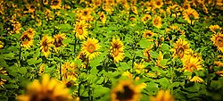 A field of sunflowers growing within the Brenne National Park, Indre, France<br /> <br /> (c) Andrew Wilson | Edinburgh Elite media