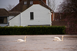 © Licensed to London News Pictures. 18/02/2020. Upton-upon-Severn, Worcestershire, UK. Swans float on the river Severn at Upton-upon-Severn in Worcestershire, UK. Though river levels have dropped fractionally, a severe flood warning is still in force at Upton-upon-Severn, in Worcestershire, UK. Photo credit: Graham M. Lawrence/LNP
