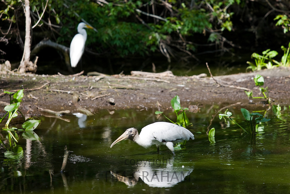 Typical Everglades scene egret and endangered species wood stork in glade, Florida, USA