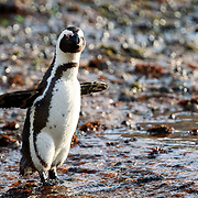 Endangered African penguin (Spheniscus demersus) preparing to head out to sea to forage for food