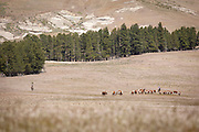 Gaucho's herding Hereford cattle, Estancia Huechahue, Patagonia, Argentina, South America