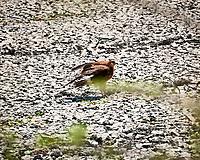 Snail Kite (Rostrhamus sociabilis). Crooked Tree Wildlife Sanctuary. Image taken with a Nikon D3x camera and 70-300 mm VR lens